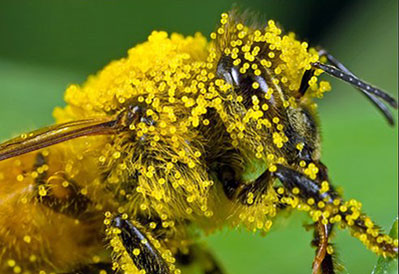 A bee loaded with pollen